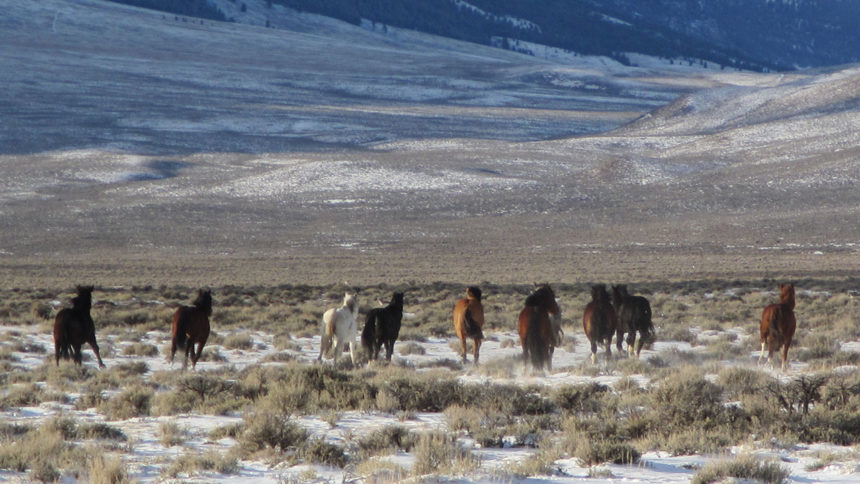 wild horses return to Challis HMA
