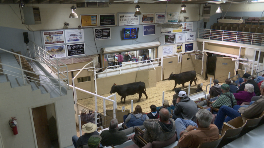 Blackfoot Livestock Auction