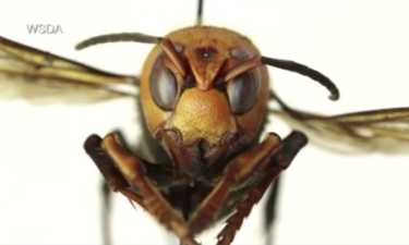 """Everything you need to know about """"Murder Hornets"""""""