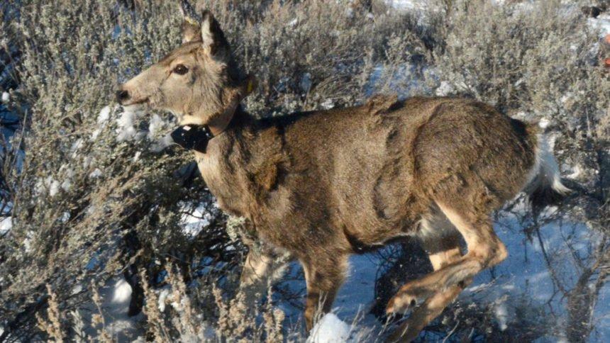 IDFG radio collar mule deer_Roger Phillips:Idaho Fish and Game
