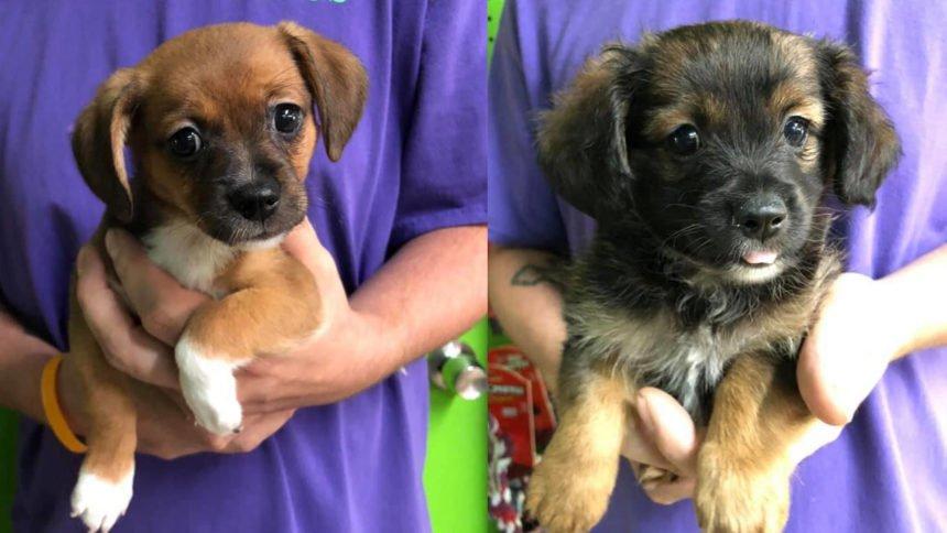 two Pomeranian puppies stolen