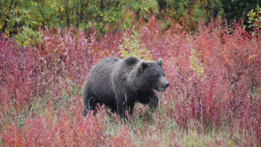 IDFG grizzly walking in Fall colored bushes August 2011