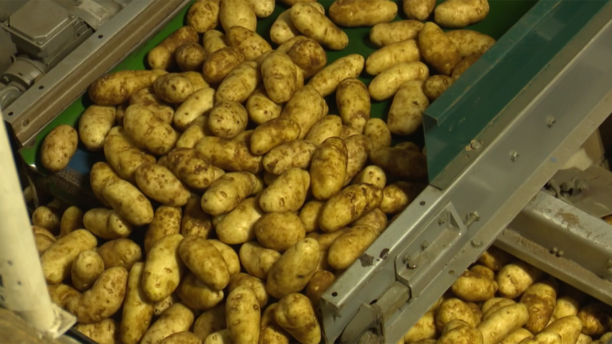 Potato hargest on belt lots logo