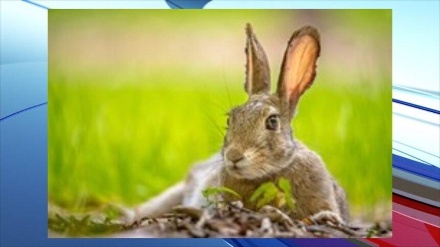 wg&f rabbit