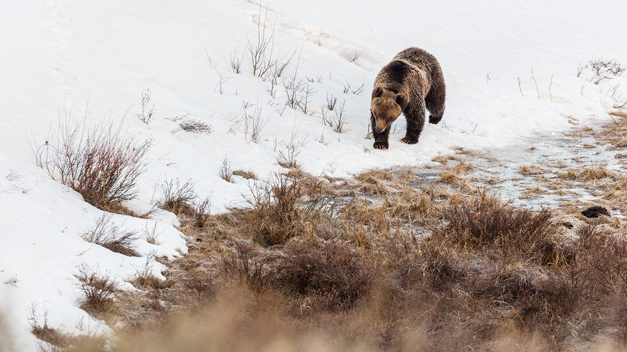 Grizzly bear walks along the edge of Blacktail Ponds