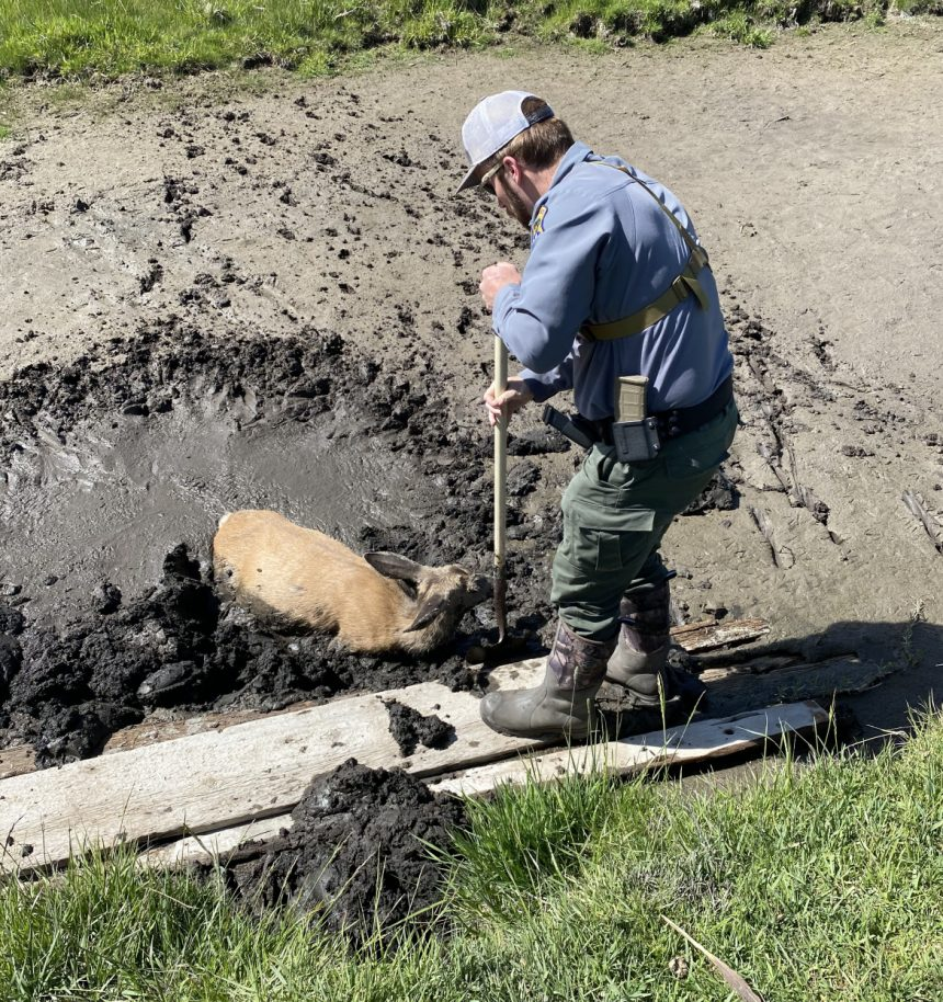 Nick Noll, IDFG A mule deer doe got herself stuck in a mud pit in a field near McCammon. She was rescued by Senior Conservation Officer Nick Noll and teen Cole Gunter both of McCammon. May 2021.-