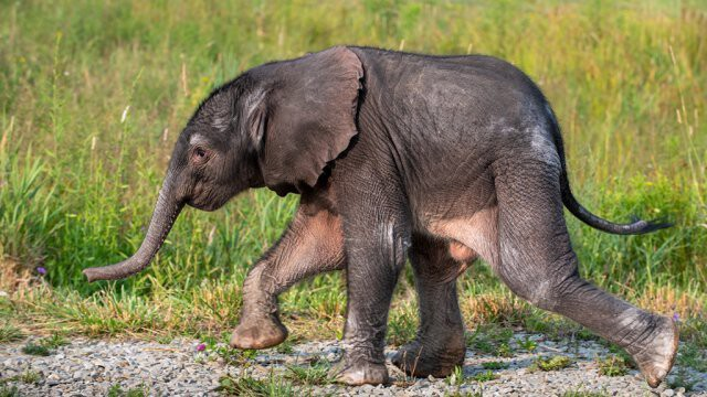 <i>Paul Selvaggio/Pittsburgh Zoo</i><br/>An African elephant calf was born early on July 18 at the Pittsburgh Zoo & PPG Aquarium's International Conservation Center in Somerset County.