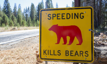"""A yellow """"Speed Kills Bears"""" sign is seen in Yosemite National Park.  A ranger at the park is pleading to visitors to drive slow and stay alert after another bear was killed by a car."""