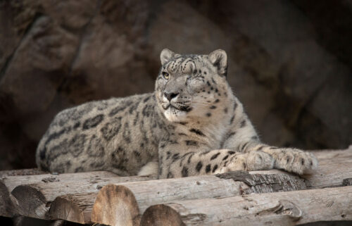 A male snow leopard at the San Diego Zoo tested positive for SARS-CoV-2 after showing symptoms of a cough and nasal discharge.
