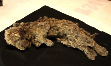 A frozen cave lion cub found in Siberia with whiskers still intact is more than 28