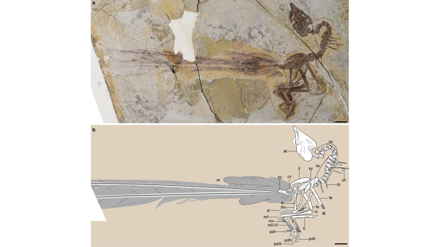 <i>Wang et al/The Field Museum</i><br/>This graphic showcases the new fossil discovery and its well-preserved feathers.