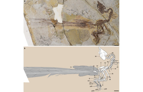 This graphic showcases the new fossil discovery and its well-preserved feathers.