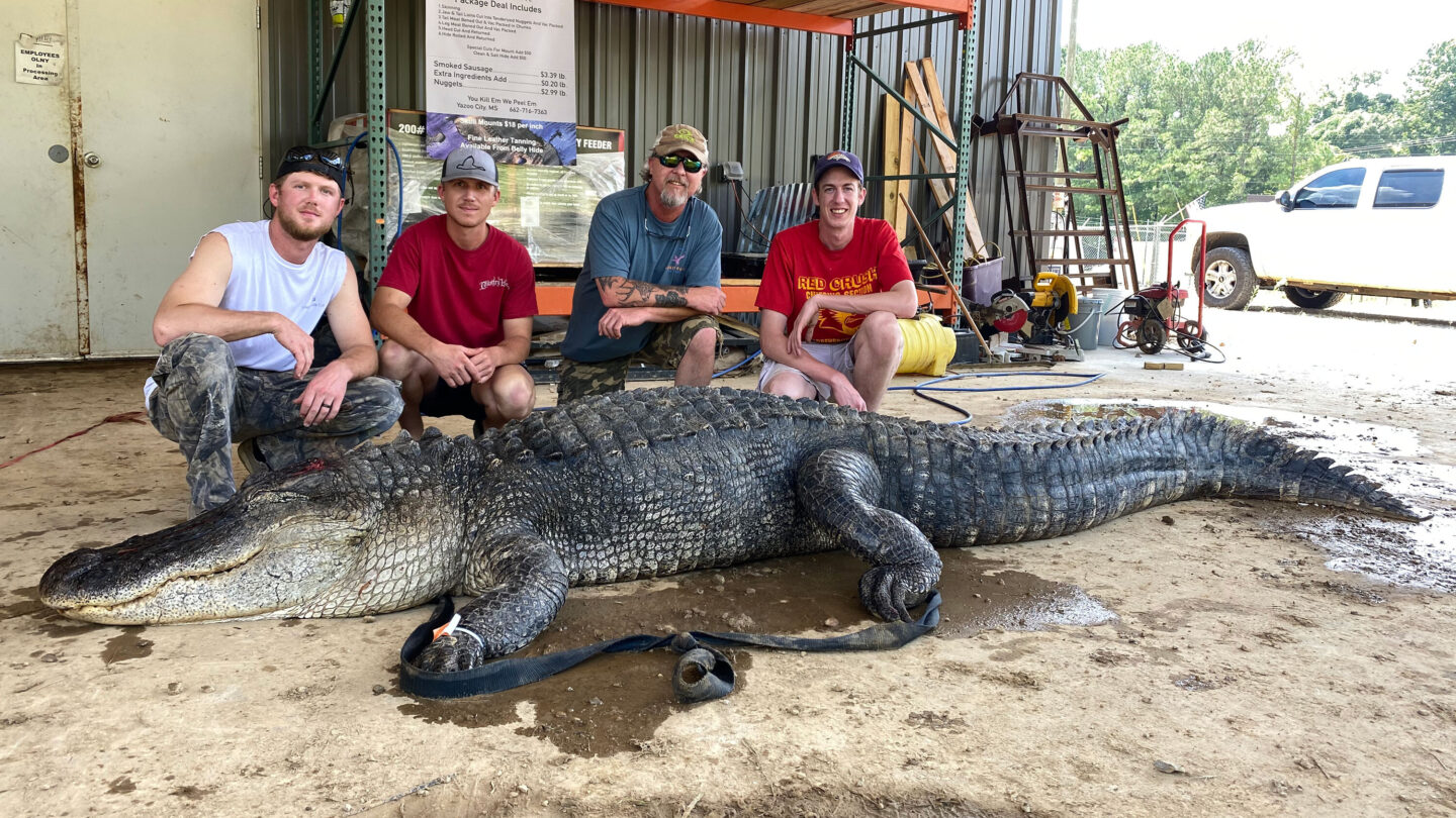 <i>Shane Smith/Red Antler Processing</i><br/>John Hamilton and his hunting party brought in a 13-foot-5-inch alligator with some surprises inside.