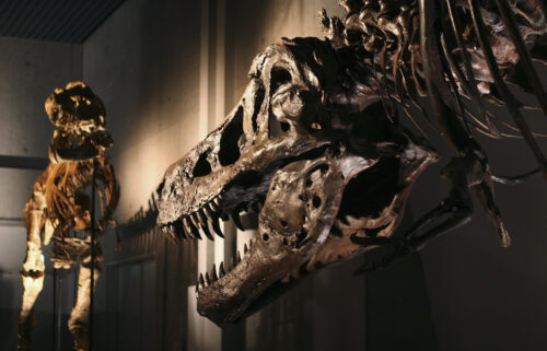 The lower jaw of SUE the T. rex is pitted with holes. Experts believe they were the result of a parasitic infection.